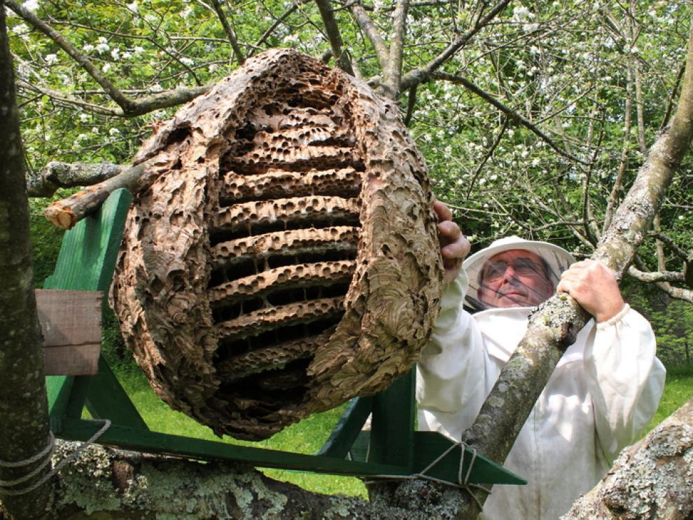 El presidente de los apicultores de Guipúzcua, con un nido de avispa invasora