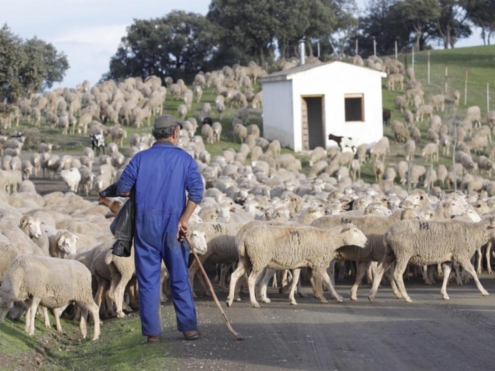 Los trashumantes de la sierra de Albarracín, en los pastos de Jaén tras 24 días de caminata