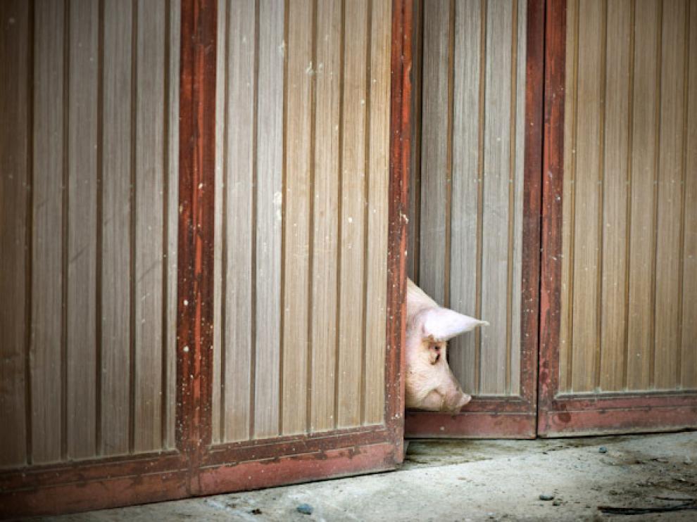 En Aragón hay 10 millones de cerdos.