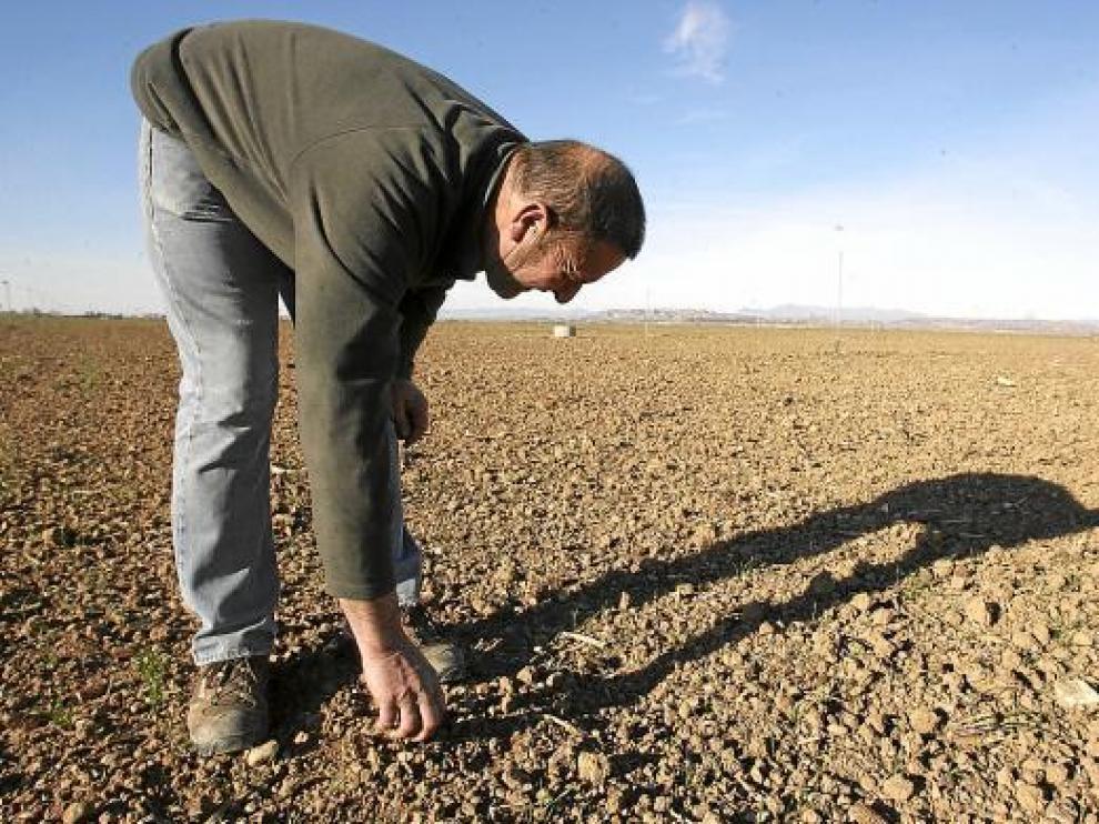 Josué Elbaile, de Lalueza, muestra los problemas de nascencia del cereal, pese al riego.