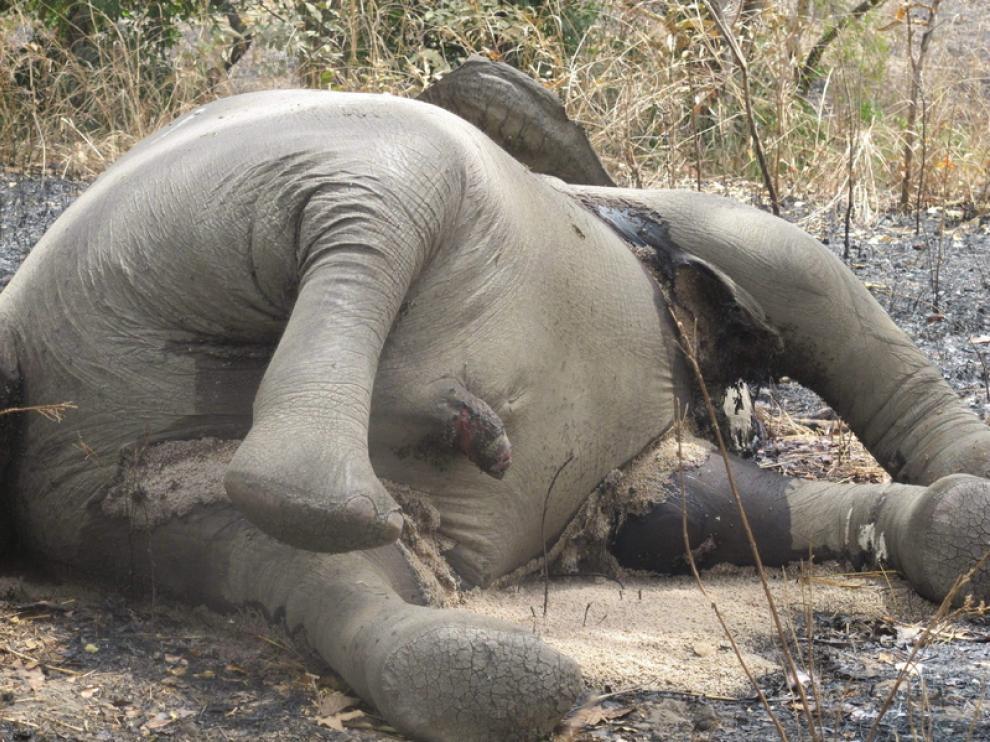 Matanza de elefantes al noreste de Camerún