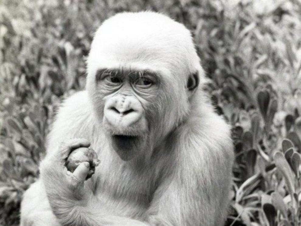 Copito de Nieve, a su llegada al Zoo de Barcelona, en 1966