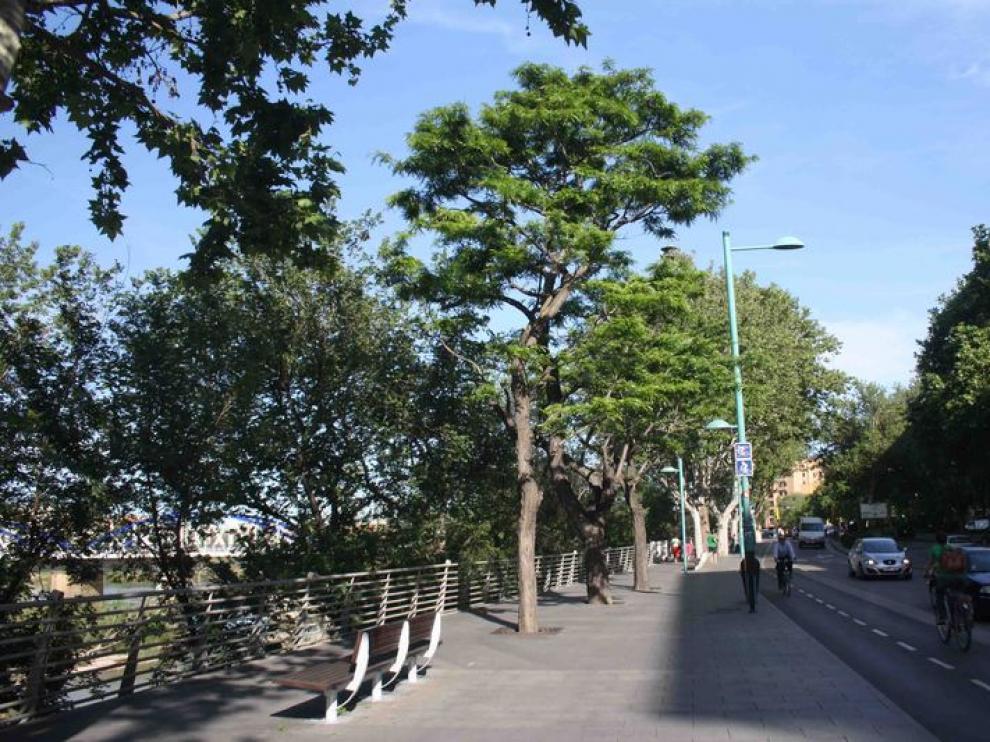 Conjunto de acacias singulares en Echegaray y Caballero