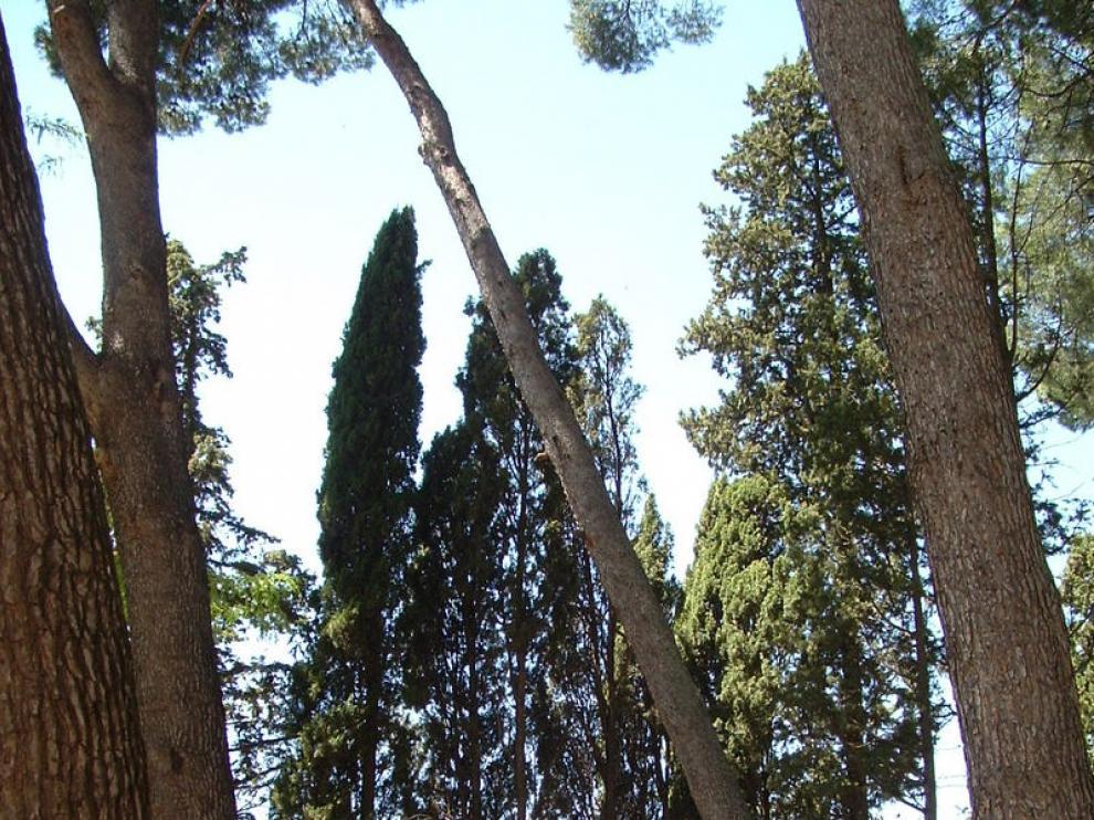 El pinar del parque Miguel Servet de Huesca, donde también pueden encontrarse cupresáceas
