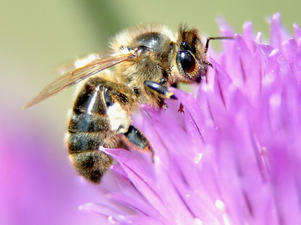 Las abejas de miel están amenazadas