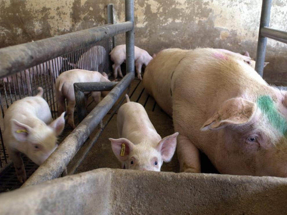 Una cerda, junto a sus crías en una granja aragonesa