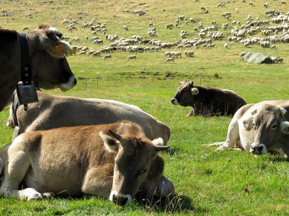 Vacas en los Llanos del Hospital