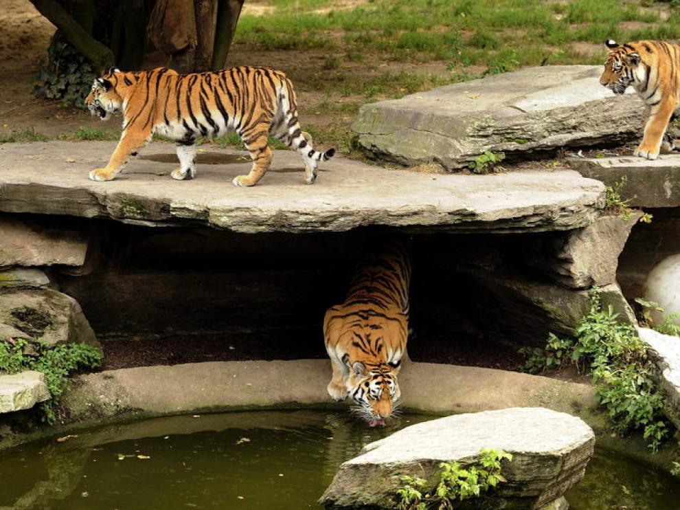 Tigres en las instalaciones del zoo de Colonia.