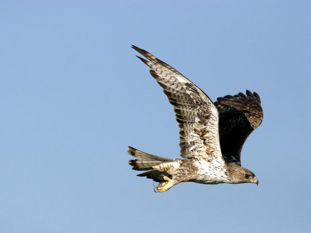 Un ejemplar de águila perdicera