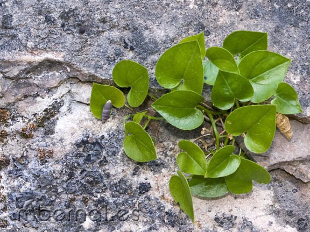 Borderea Chouardii, una planta tropial de la era terciaria en el Pirineo