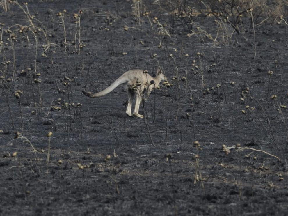 Un canguro deambula por una zona calcinada