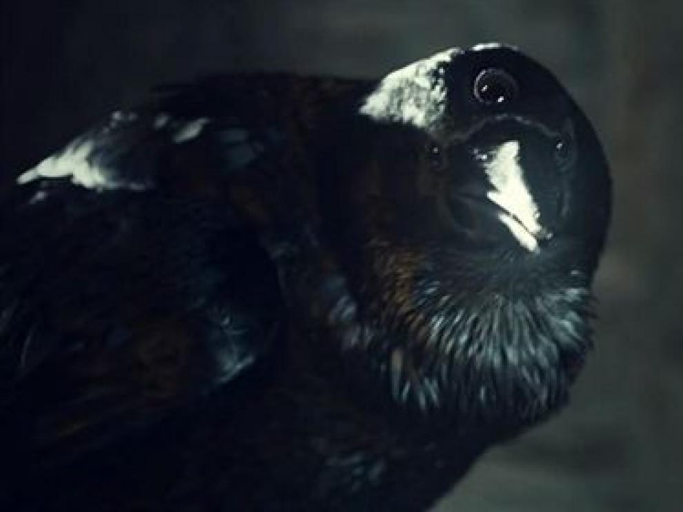 El cuervo que protagoniza el anuncio