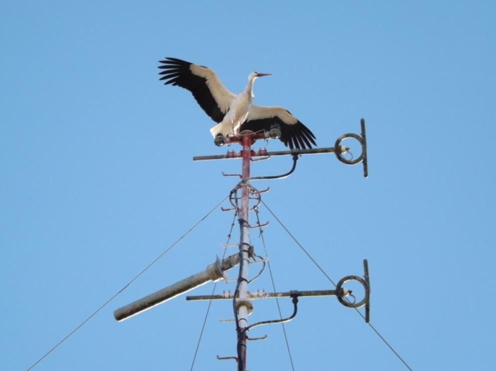 Una cigüeña en busca de nido sobre la antena de un edificio del Coso Bajo