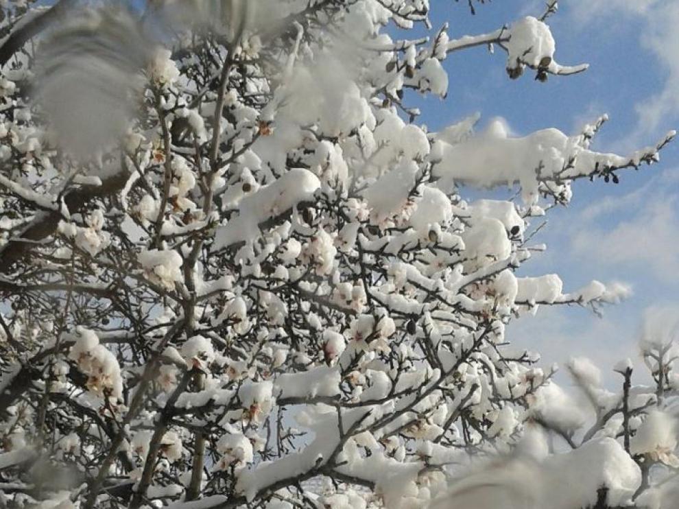 Almendro en flor nevado en Paniza