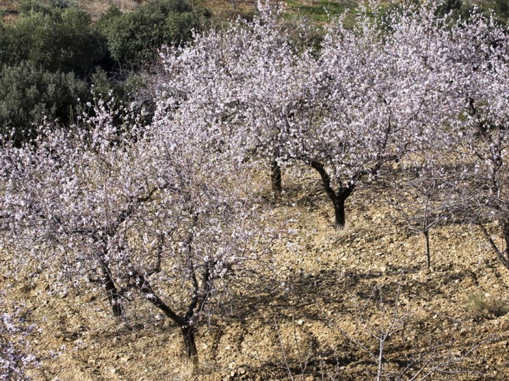 La ministra propone ayudas a los productores de almendra por la muerte de árboles