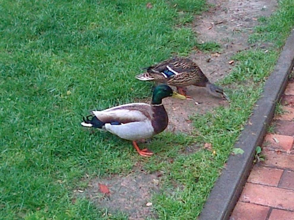 Una pareja de patos en la plaza de los Sitios