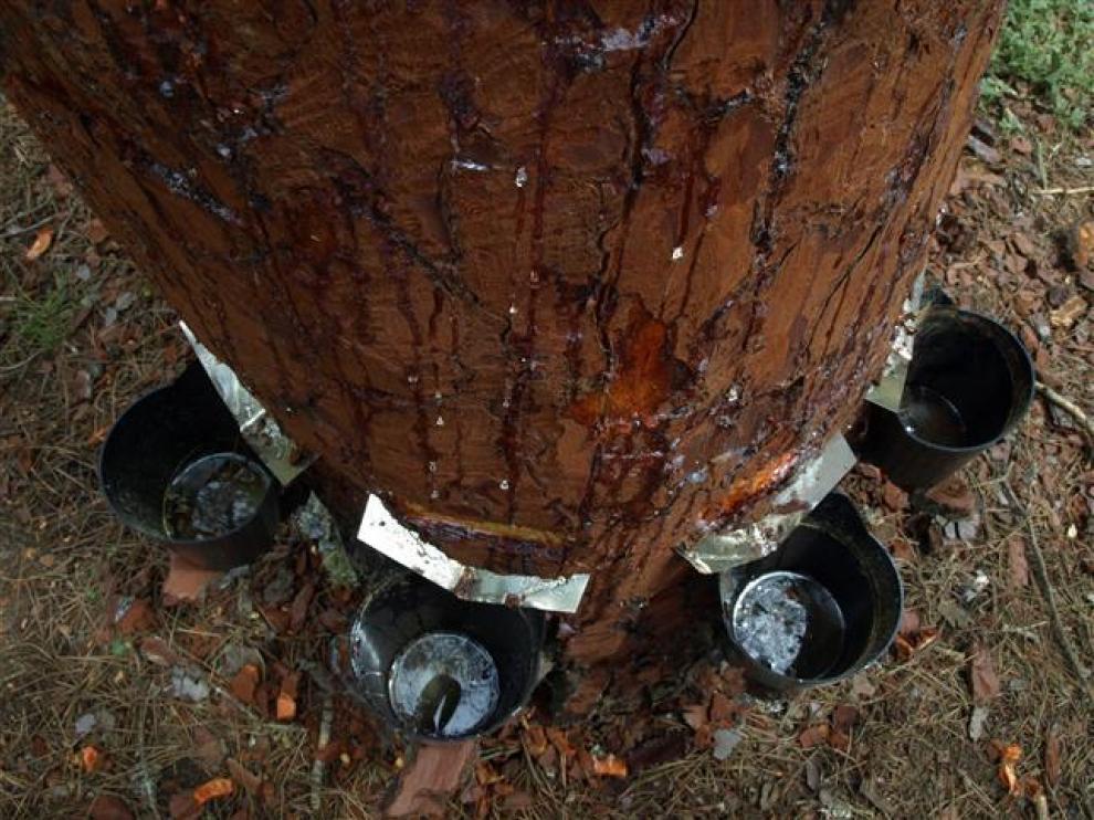 Extracción de resina en un pino