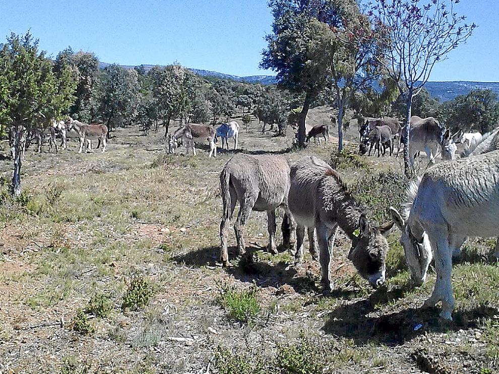 Imagen de archivo de varios burros pastando.
