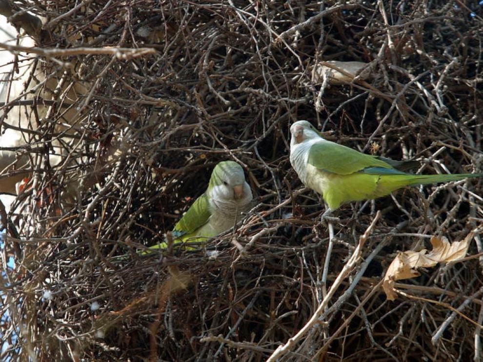 Dos cotorras, junto a su nido en Zaragoza