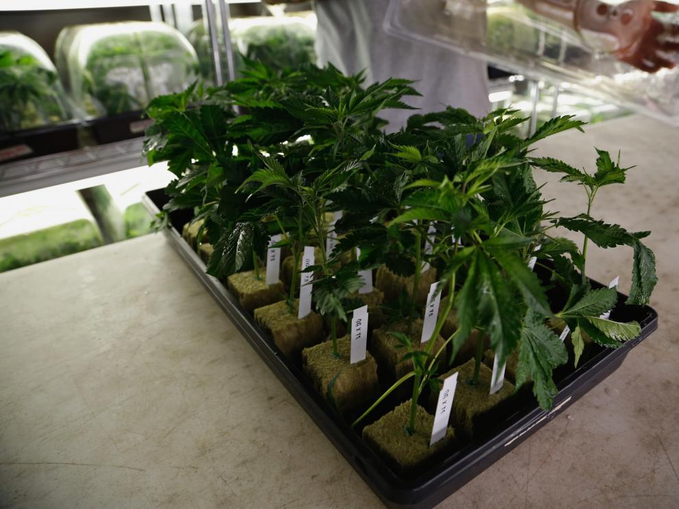Chile inicia el cultivo legal de marihuana terapéutica
