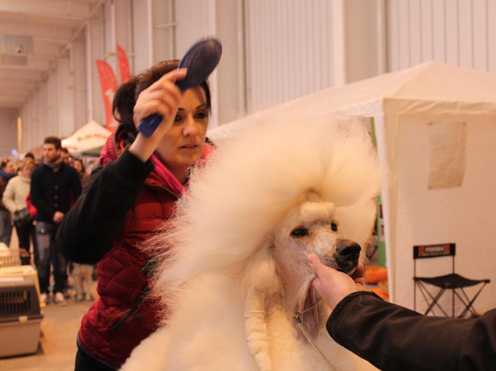 Los dueños de los perros cuidan hasta el mínimo detalle para la competición.
