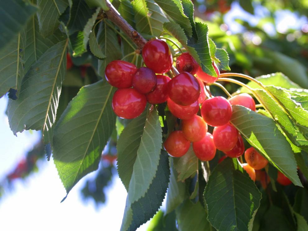 Cerezos de Bolea