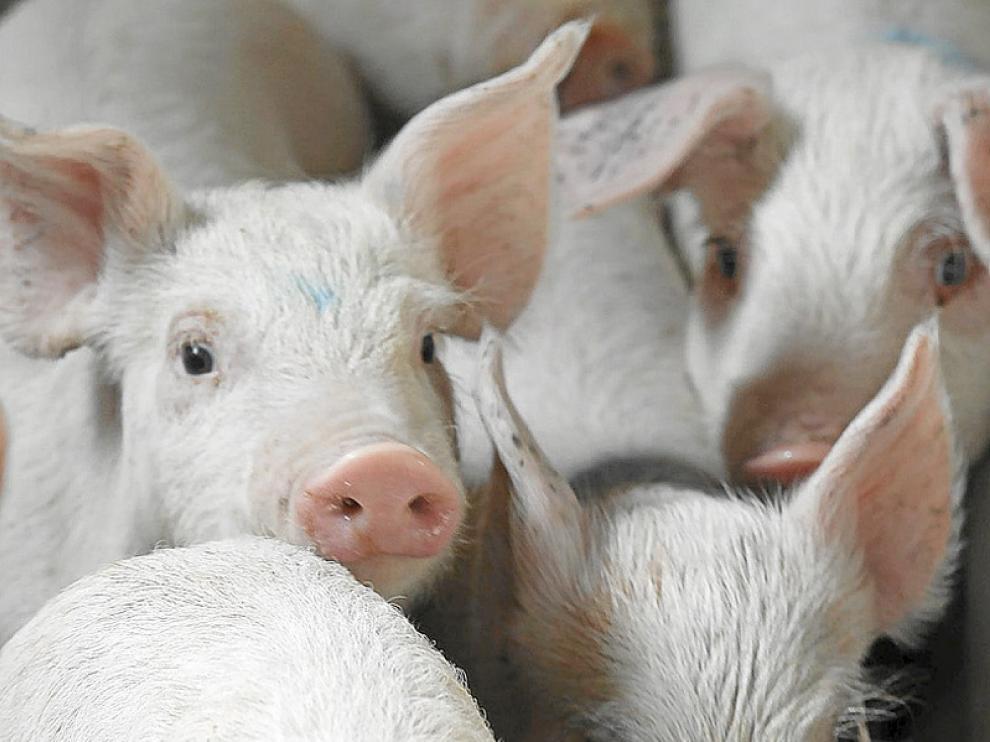 El ganado porcino es un importante motor económico regional