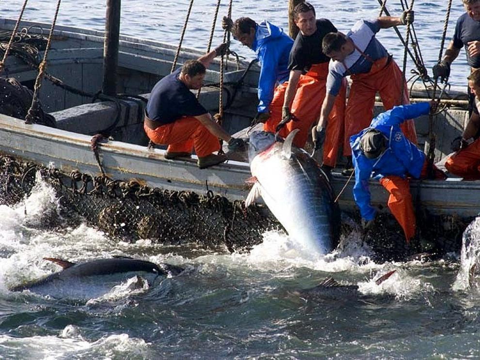 Pesca de atún rojo con el procedimiento del almadrava