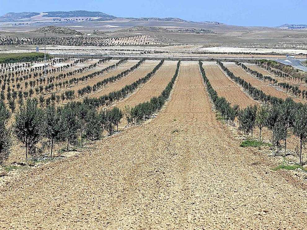 La mayoría de las aceitunas se destinan a la producción de aceite
