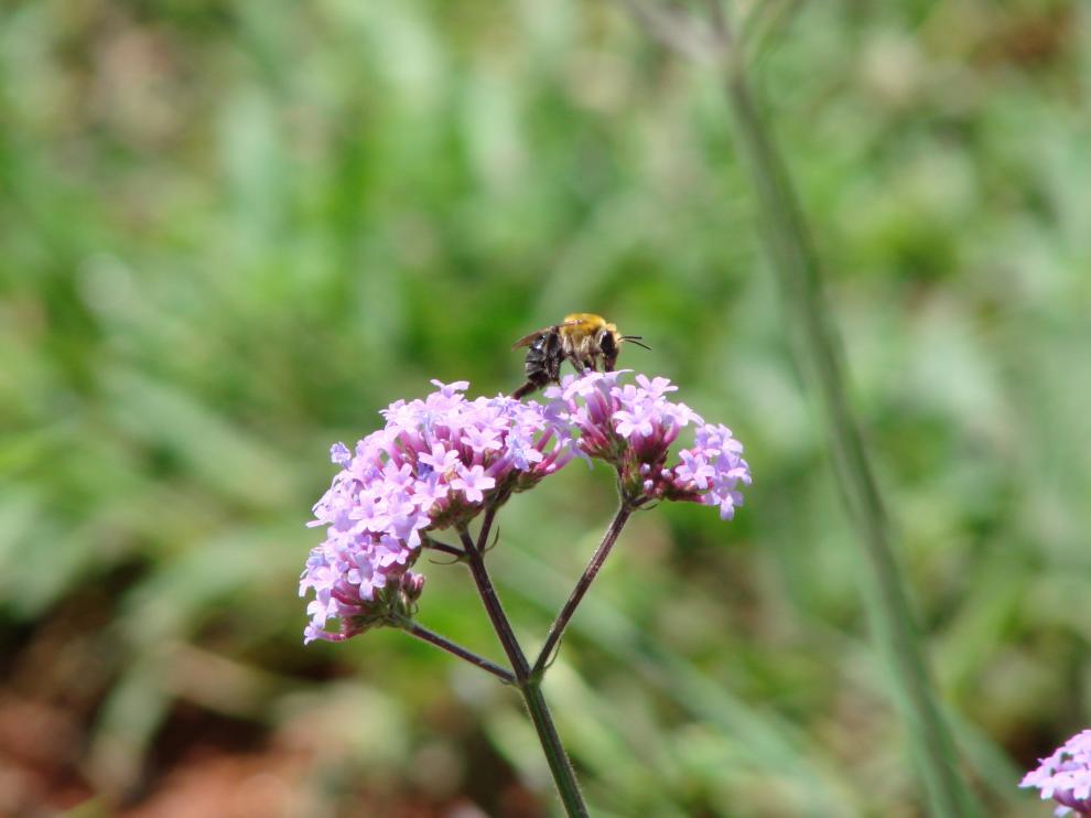La dispersión de polen obliga a las abejas al contacto directo con la neurotoxina