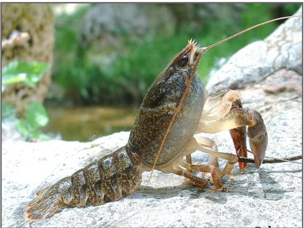 El cangrejo de río es una especie autóctona de Aragón en peligro de extinción
