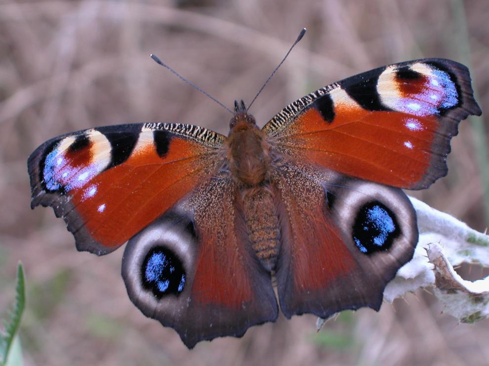 Mariposa ojo de pavo real.