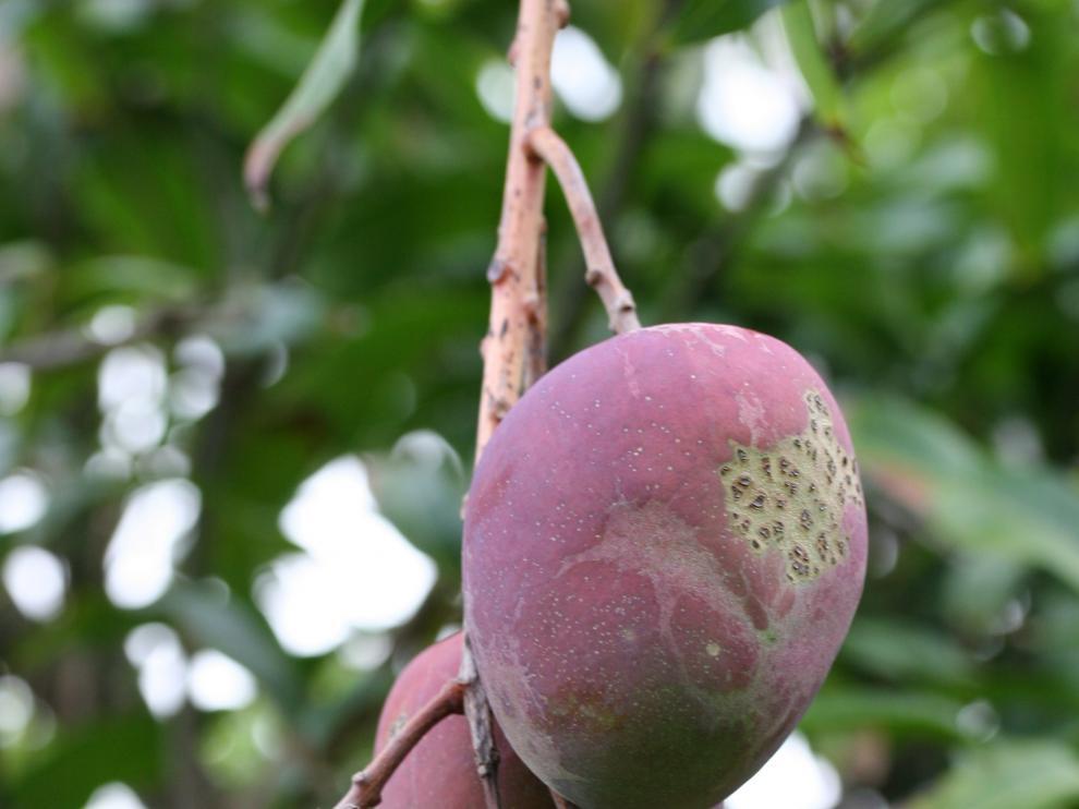 El mango es un excelente antitusivo, expectorante y ayuda a combatir la tos seca