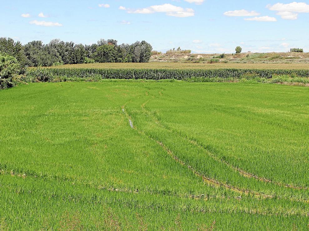 Campo de arroz puesto en cultivo para la próxima cosecha en la localidad de Lalueza.