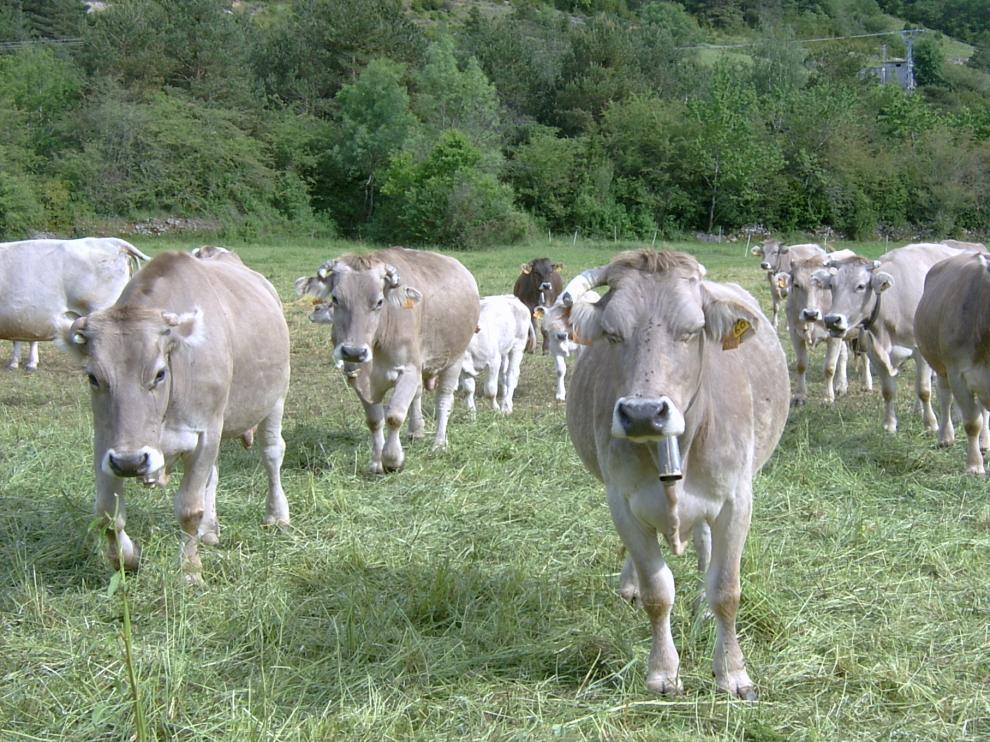 Algunas de las vacas ecológicas de Javier Cazcarro