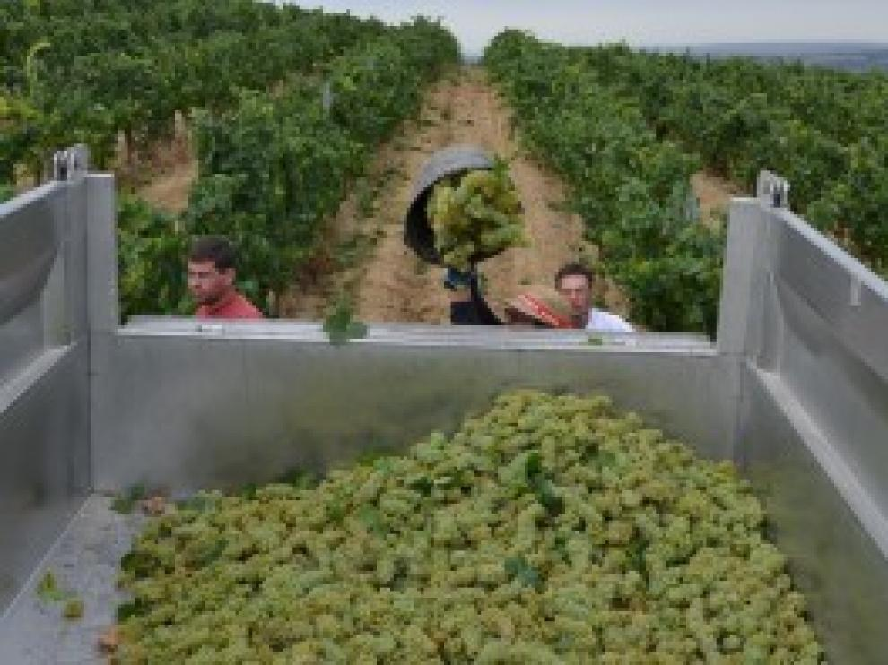 Recogida de las primeras uvas de chardonnay en los viñedos de Bodega Enate