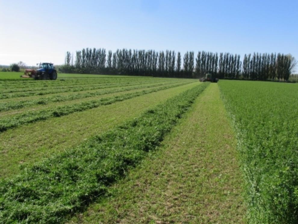 Campo de alfalfa.