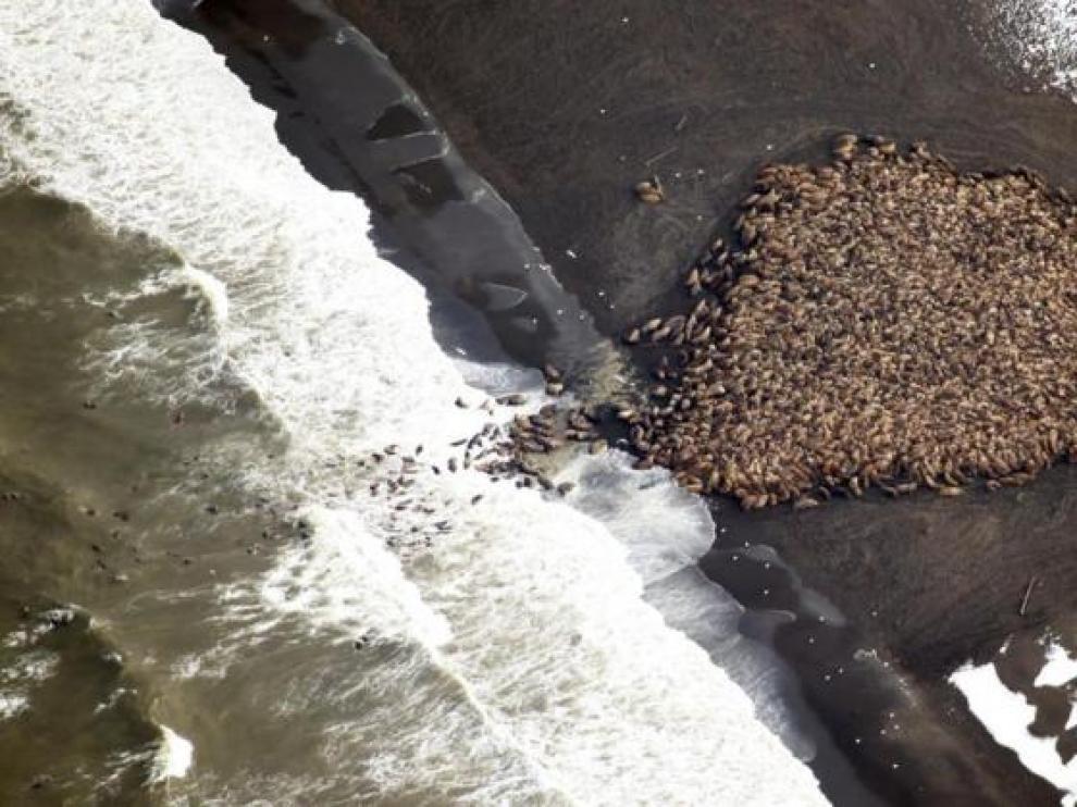 Las morsas varadas en Alaska