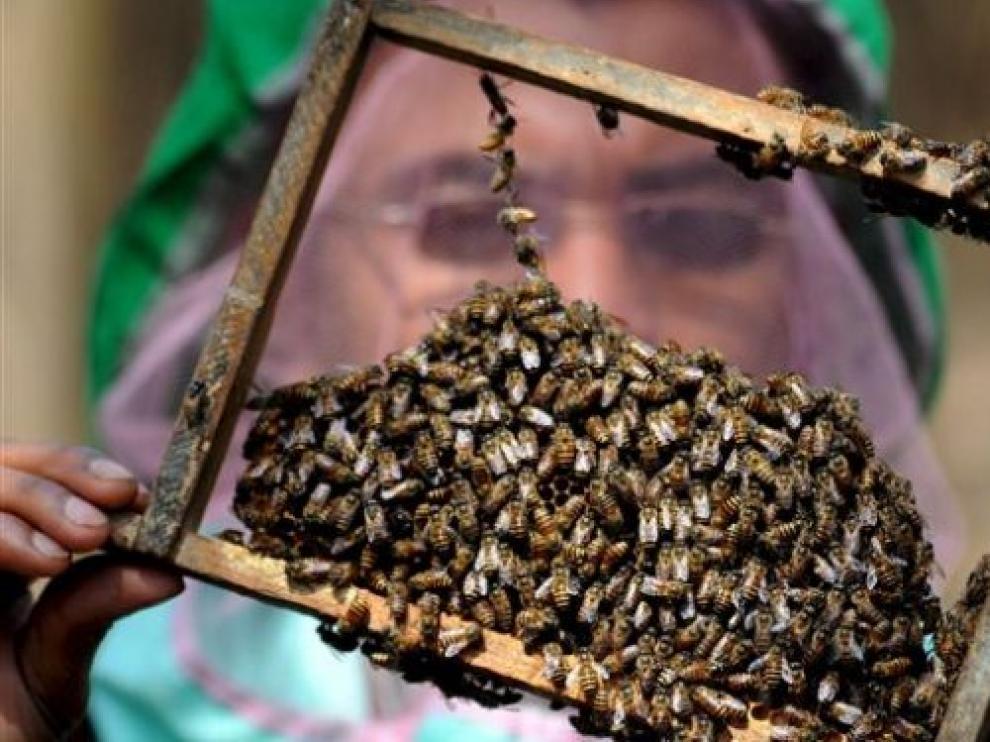Un criador de abejas examina una colmena.