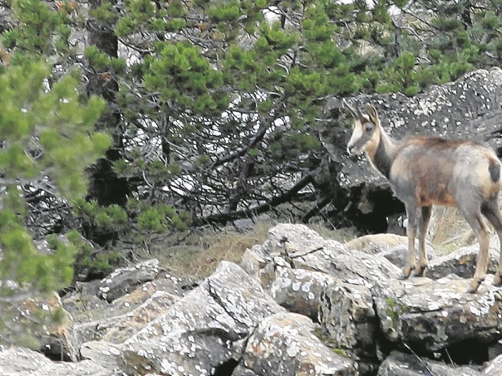 Uno de los sarrios que campan por los montes del Parque Nacional de Ordesa.