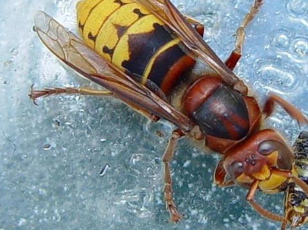 Ejemplar de avispa asiática comiéndose a otro insecto