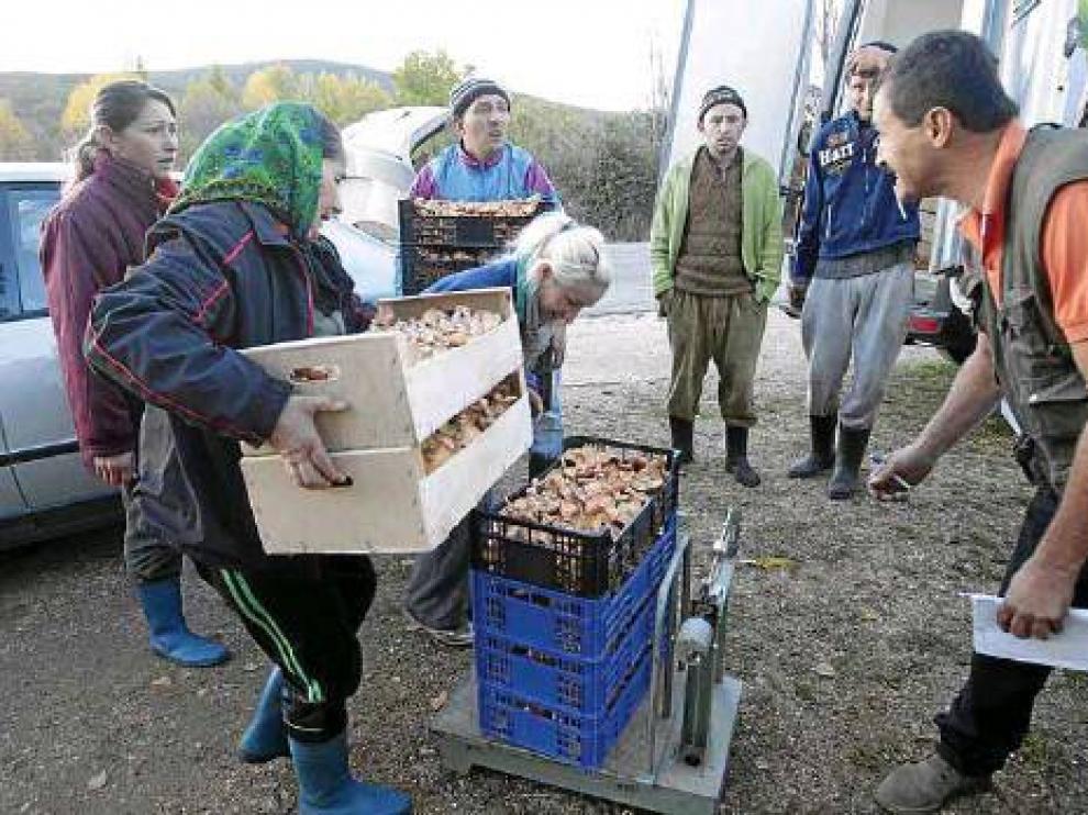Una cuadrilla de recolectores ilegales pesa unas cestas de níscalos, en una imagen de archivo