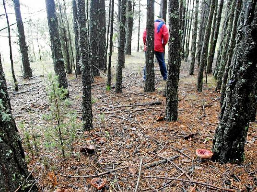 En los montes del Maestrazgo, como este de Mosqueruela, abunda la biomasa.