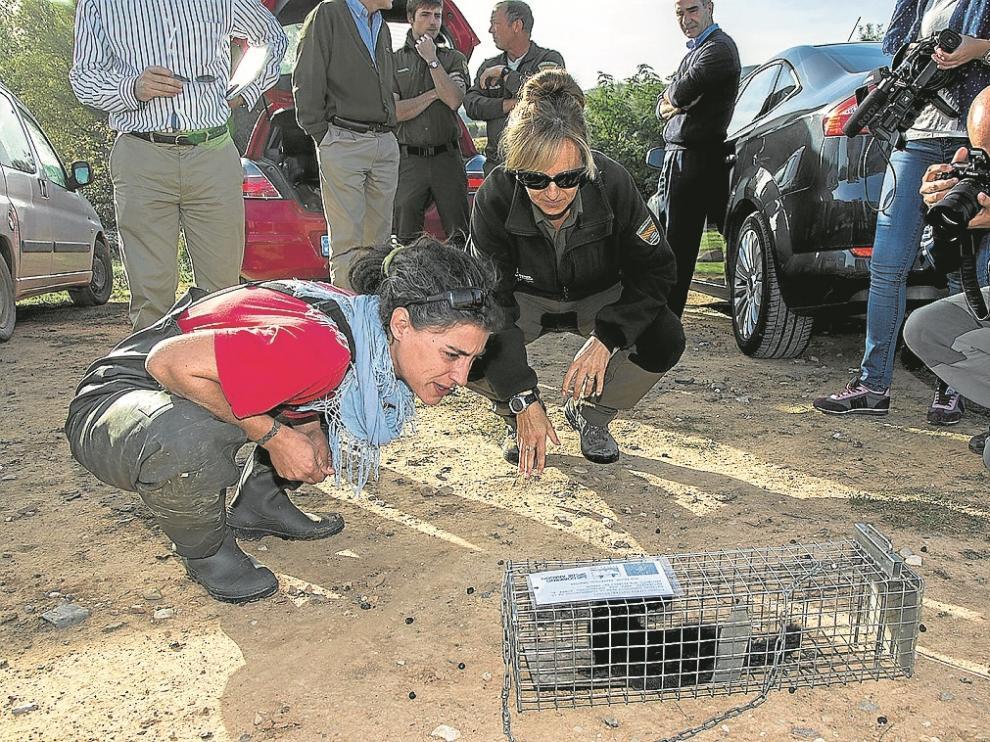 Los técnicos observaban el ejemplar de visón capturado en una de las jaulas trampa del Jalón.
