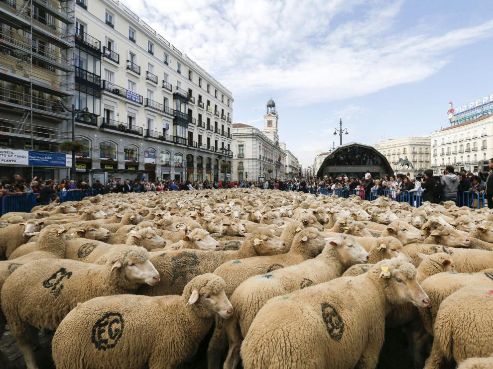 Dos mil ovejas llegan de Teruel al centro de Madrid