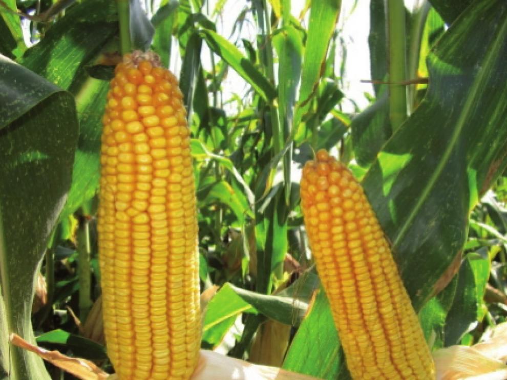 Syral Iberia utiliza solo maíz tradicional, no modificado genéticamente