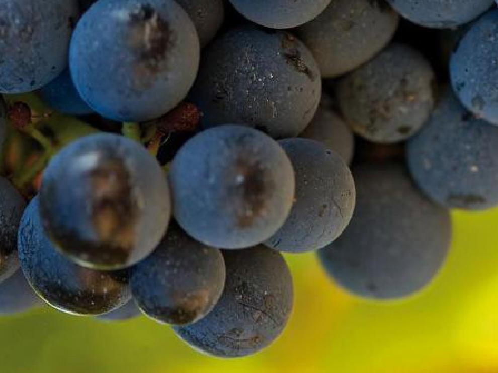 Uva de la variedad garnacha