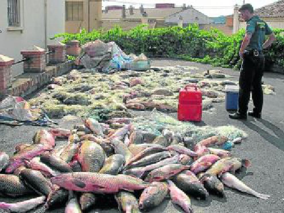 2.000 kilos de carpas en una furgoneta. En julio, la Guardia Civil interceptó en Sástago una furgoneta que transportaba 2.000 kilos de carpas y luciopercas y 1.500 metros de redes.