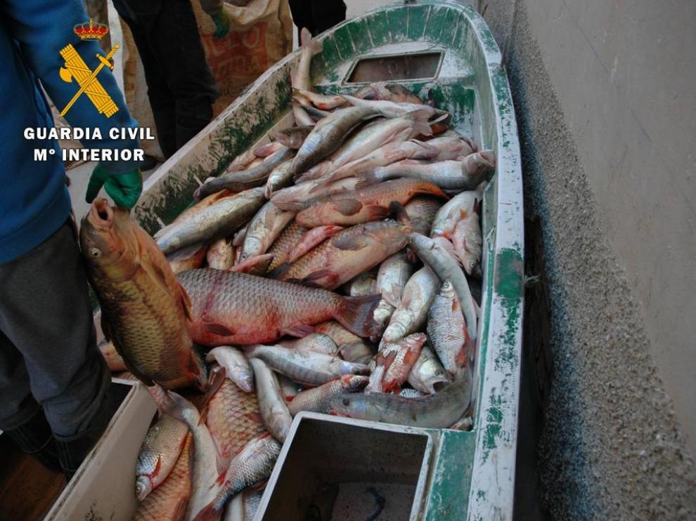 Detenidas seis personas por capturar ilegalmente 2.300 kg de pescado en Mequinenza