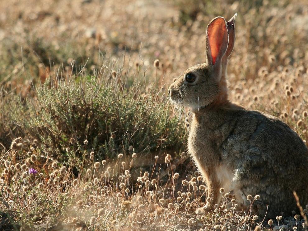 La supervivencia del conejo silvestre peligra en Aragón